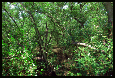 Glover Bight Cape Coral Thicket