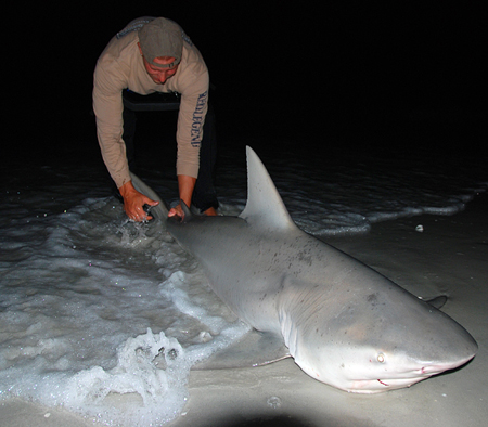 6 Foot 9 Inch Bull Shark = April 2008